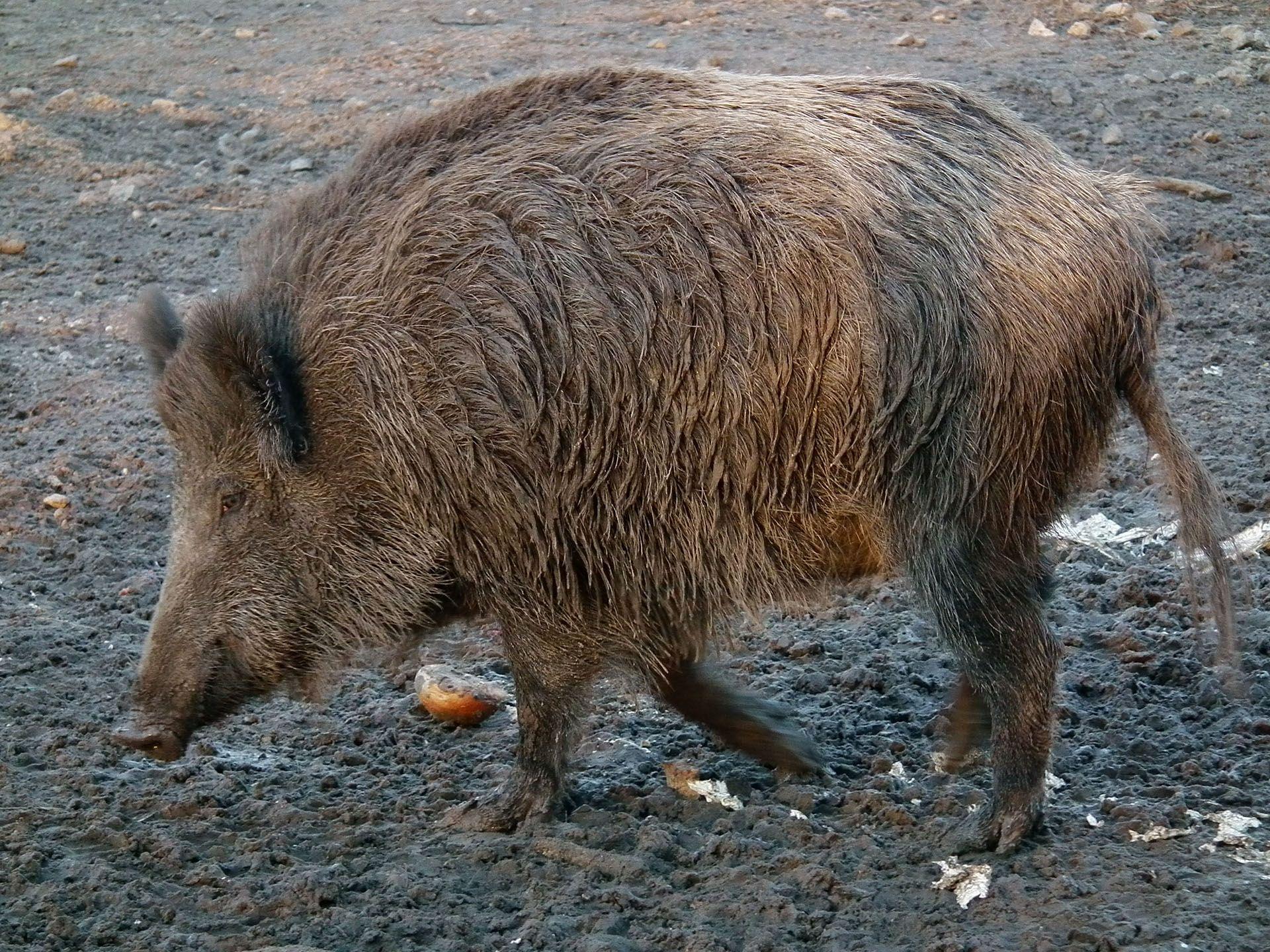 vildsvin vægt